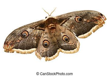 mooi, moth, reus, zijde, vlinder