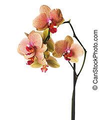 mooi, orchidee