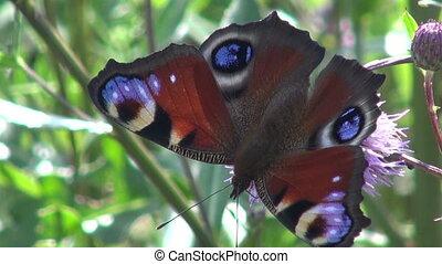mooi, peacock-butterfly
