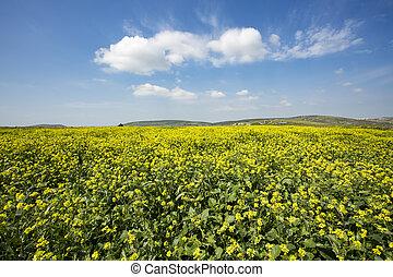 mooi, plant, napus, energie, -, /, akker, groene, raapzaad, brassica, wolk