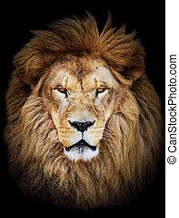 mooi, reusachtig, tegen, leeuw, zwarte achtergrond,...