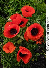 mooi, rood, klaprozen, in, zomer, tuin, aanzicht
