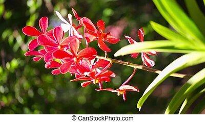 mooi, rood, orchidee