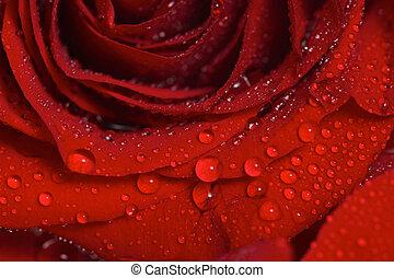 mooi, roos, dauw, closeup, druppels, rood