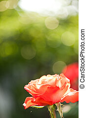mooi, roos, in, lente