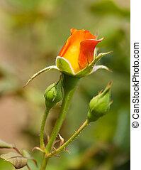 mooi, roos, rood