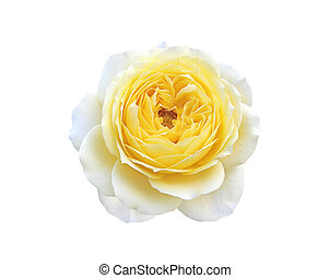 mooi, roos, vrijstaand, op, een, witte achtergrond
