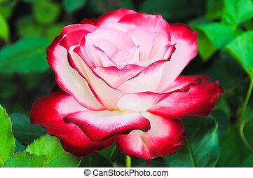 mooi, roos, wit rood
