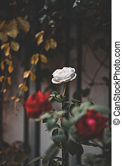 mooi, rooskleurige rozen, rood, tuin, ouderwetse