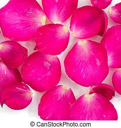 mooi, rose kwam op, kroonbladen