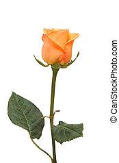 mooi, rose kwam op, op, een, witte , achtergrond.