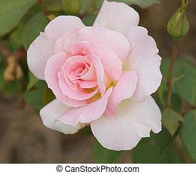 mooi, rose kwam op