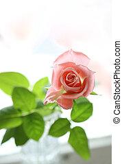 mooi, roze, closeup, roos