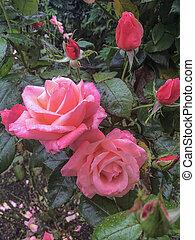 mooi, roze, regen, rozen, bloeien, druppels