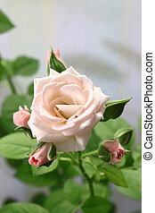 mooi, roze, tak, roos