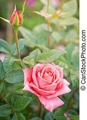 mooi, roze, tuin, roos