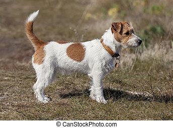 mooi, staand, russell, dog, dommekracht, gras, terrier
