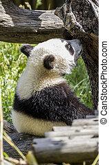 mooi, takken, bomen, dierentuin, panda draagt, bloemen, spelend