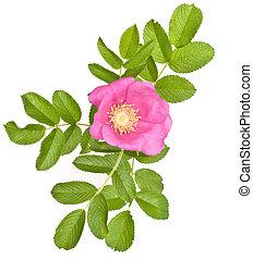 mooi, thee roos, op, een, witte , achtergrond.
