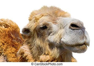 mooi, verticaal, witte , kameel