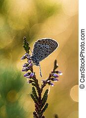 mooi, vlinder, dophei, zittende , droplets, gevlekt, blauwe , wings., water, dauw, moeras, insect., tak, closeup, morgen