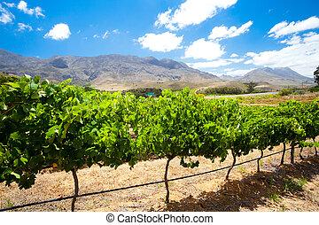 mooi, wijngaard, afrika, zuiden