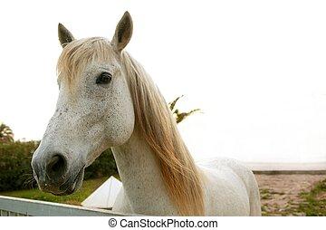 mooi, wit paard, kijkend aan camera