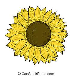 mooi, witte achtergrond, vrijstaand, zonnebloem