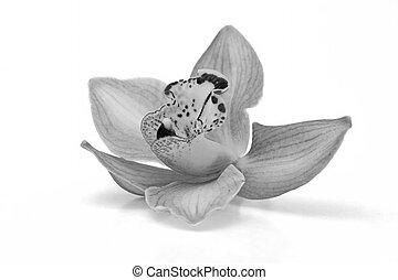 mooi, witte , black , vrijstaand, orchidee