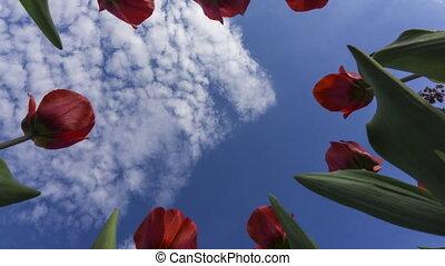 mooi, wrakkigheid, tulpen, hemel, bewolkt, onder, tegen,...