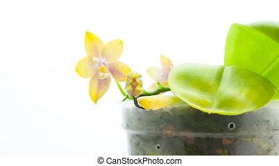 mooi, zelden, pot, achtergrond, witte , orchidee