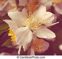 mooi, zomer, macro, jasmijn, fris, witte bloemen