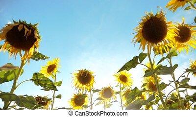 mooi, zonnebloem, helianthus, akker, van, gele bloemen, op, een, achtergrond, van, blauwe hemel, landschap., slowmotion, video., veel, van, zonnebloem, -, een, groot, akker, van, agriculture., verzameling, van, biomass, levensstijl, olie, concepten, zonnebloem, landbouw, landbouw