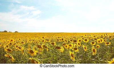 mooi, zonnebloem, helianthus, akker, van, gele bloemen, op, een, achtergrond, van, blauwe hemel, landschap., slowmotion, video., veel, van, zonnebloem, -, een, groot, akker, van, agriculture., verzameling, van, biomass, olie, concepten, levensstijl, zonnebloem, landbouw, landbouw