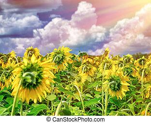 mooi, zonnebloemen, akker, in, ondergaande zon