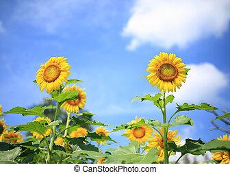 mooi, zonnebloemen, in, tuin, met, blauwe hemel