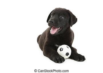 mooi, zwarte labrador puppy, vrijstaand, op, een, witte