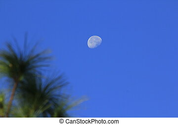 Moon and daytime pine leaves