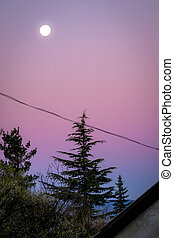 Moon and pine trees at sunset