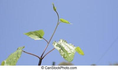 Moonflower(Ipomoea alba) sprout - Green moonflower(Ipomoea...