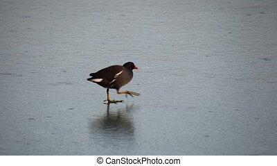 moorhen walking on frozen pond