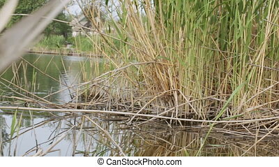 Mooring in reeds - Boat approaches to shore reeds