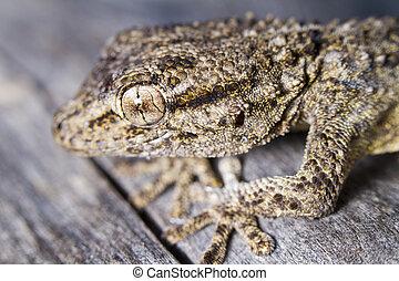 Moorish Gecko (Tarentola mauritanica)