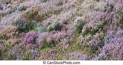 Moorland heather - Wild heather bushes in shades of purple,...