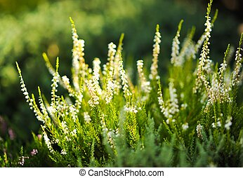 Moorland. White Heater Flowers. Closeout Photography....