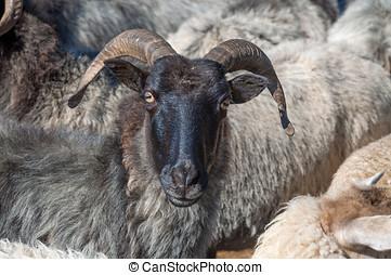 Moorland Sheep,Germany - Moorland Sheep in Lueneburg Heath...
