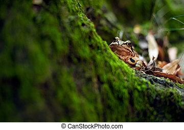 moos., temporaria., europeo, rana, marrone, rana comune,...