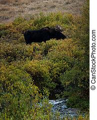 Moose - Bull moose in Colorado.