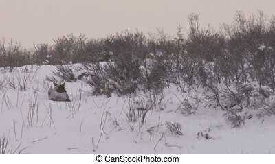 Moose cow nibbling then standing up - Moose cow nibbling on...