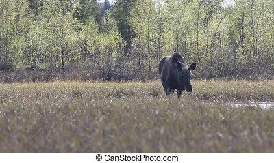 moose eat young grass on floodplain meadows